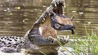 Crocodile Crushs Turtle In Its Mouth تمساح يلتهم سلحفاة و يحطمها بأسنانه كانه يكرز لب لا يفوتك