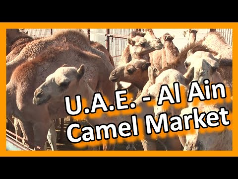 U.A.E. Abu Dhabi Lively Al Ain camel & cattle market