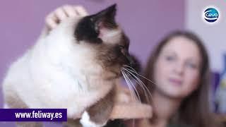 Cómo acabar con las peleas entre gatos fácilmente. Porqué se pelean los gatos.