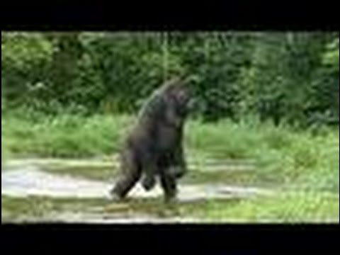 Is that Bigfoot or just a bear? caught on camera