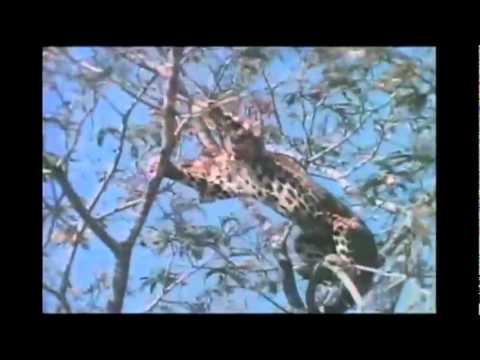 leopard vs lone baboon