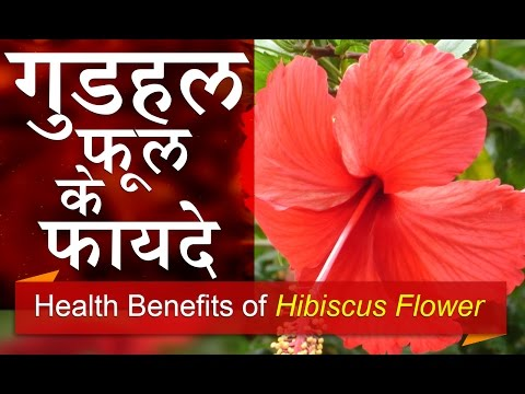 Xxx Mp4 गुडहल फुल के फायदे Health Benefits Of Hibiscus Flower For Diabetes And Throat Problems In Hindi 3gp Sex