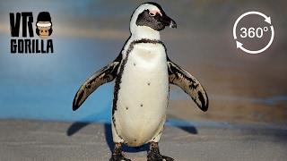 Meet The African Penguins (360° VR)