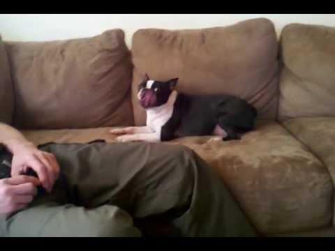 Xxx Mp4 Boston Terrier Loves Habanero Buffalo Wild Wings 3gp Sex