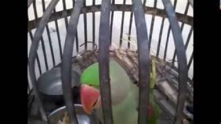 Indian Parrot (27 years Old) Singing Sita-Ram Song with Music