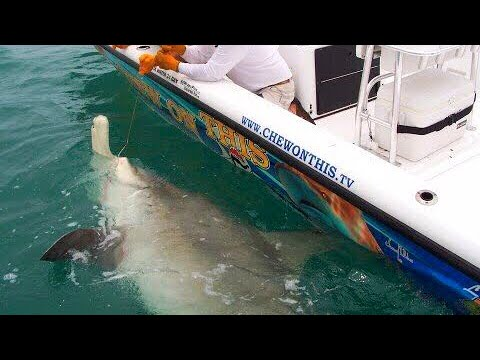 Awesome 1 000 Pound Hammerhead Shark Giant Fish