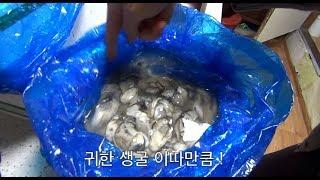누나가 보내준 신선한 굴 Oysters sent by sister