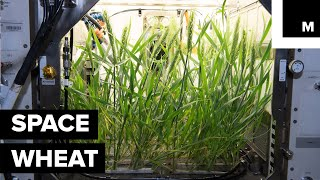 This Is How Wheat Is Growing In Microgravity
