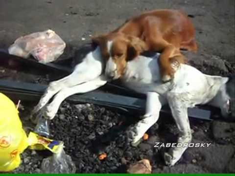 Perro Sufre La Muerte de Su Amigo Atropellado. Chile
