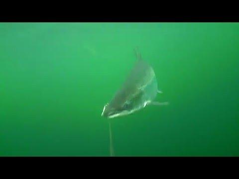 Xxx Mp4 Laks Water Wolf Trolling Klip 2 3gp Sex
