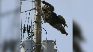 Cha Cha the Chimp Leads Police on Chase After Zoo Escape
