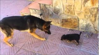 Pastor aleman y un cachorro se ven por primera vez (1/3)