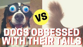 🔴 Dogs Chasing Tails Video - Funny Dogs Chasing Their Tails Compilation