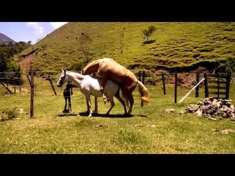 Cavalo Baio Amarilho cruzando égua