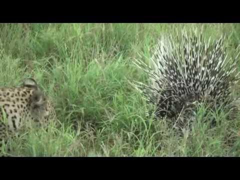 Xxx Mp4 Porcupine Vs Leopard Another Battle At Kruger 3gp Sex