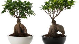 How To Care Ficus Microcarpa Ginsing - آموزش نگهداری از فیکوس بُنزای