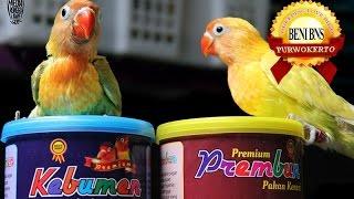 Hobby Burung : Tips Om Beni Koloni Kelola Breeding Love Bird Basic Suara Download Mp3 Mp4 3GP HD Video