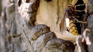 The Cruel Fate That Awaits a Hornet Queen