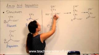 Amino Acid Degradation--Intro & Structures