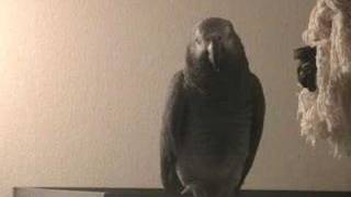 Tui the African Grey has a Tantrum. When parrots attack! Parrot gives a verbal bashing