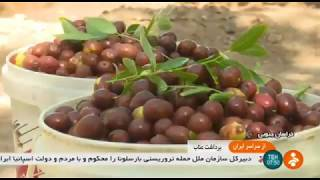 Iran Sivjan village, Khousf county, Jujube harvest برداشت عناب روستاي سيوجان ايران