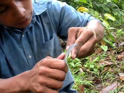 Injerto en Cacao Adulto