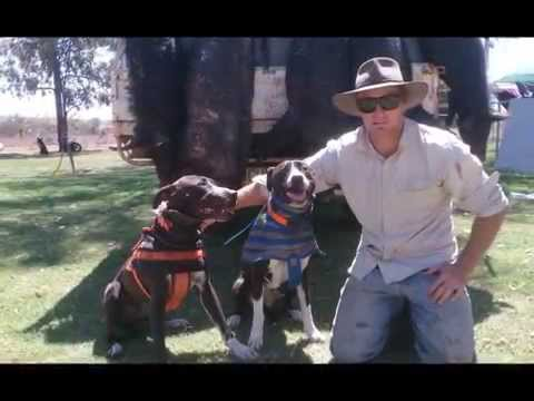 pig hunting with dogs