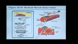 Anatomy and Physiology Help: Chapter 10 Muscle Tissue