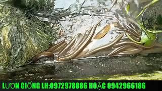 nuôi lươn bằng thức ăn công nghiệp đạt hiệu quả cao