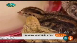 Iran Quail farming & Egg handling, Zahedan county پرورش بلدرچين و تخم بلدرچين زاهدان ايران