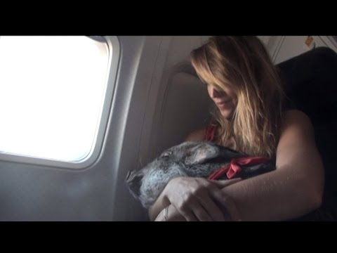 Woman Takes 70-Pound Pig on Plane For Support: He's Quieter Than Most Kids