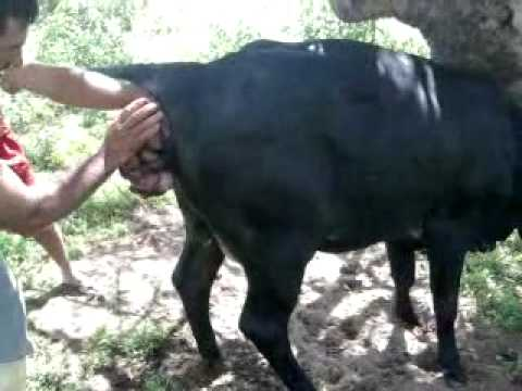 Xxx Mp4 Vídeo 0029 Mp4 Parto De Uma Vaca 3gp Sex