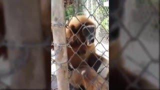 Siren Sesi Yapan Maymun