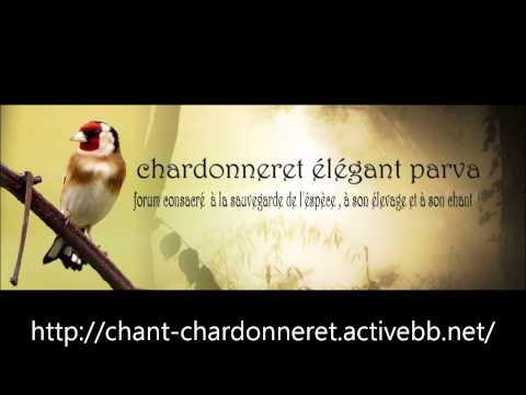Chant Chardonneret guelma 02