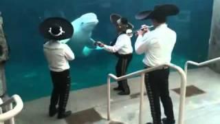Mariachis dan serenata a ballena beluga