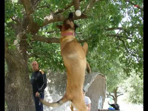 ISRAELI DOG ATTACKS UNBELIEVABLE   - police K9 and military dog   MALINOIS DVASH  - דבש
