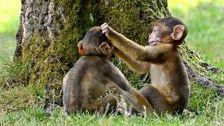 Funny Monkey babies - Playing like naughty kids!!