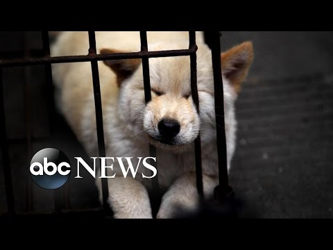 Chinese Dog Meat Festival | Undercover Cameras Reveal Brutality