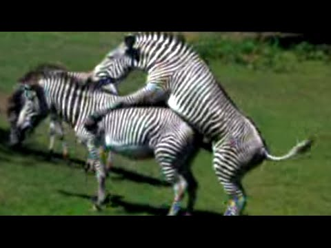 At the Zoo Today Zebras Mating