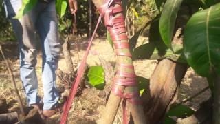 Mango Plant Grafting Methods