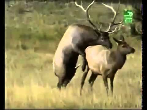 Animals Having Sex Breeding Reproducing Elks Mating ~ Best Funny Animals 2014 YouTube   YouTube by I