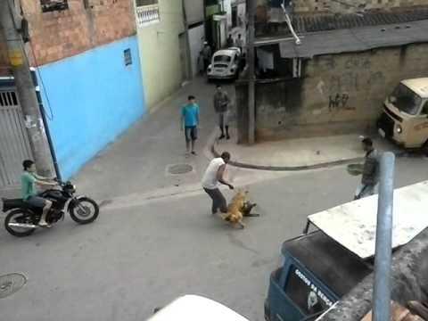 pitbull brigando com o cachorro do vizinho