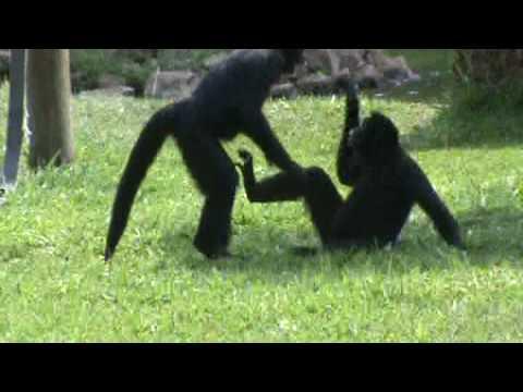 Comportamento de brincadeira em macaco aranha