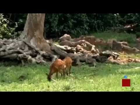 Xxx Mp4 Animal Channels Crazy African Tribe Hunting Wild Animals Video Horror Animal Hunting 3gp Sex