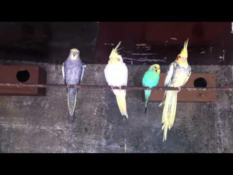 Calopsita femea cantando female cockatiel singing