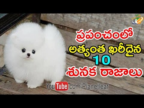 World Top 10 Most Expensive Dogs ఈ 10 కుక్కల రేటు వింటే మీరు షాక్ అవ్వక తప్పదు With Subtitles