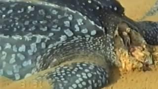 Fish Eagle Kill Leatherback Turtle.