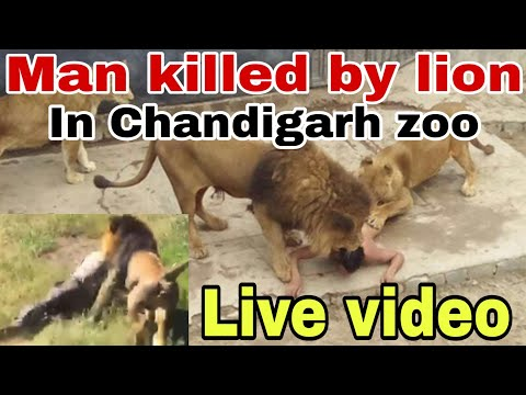 Xxx Mp4 Chattbir Zoo Incident ਮੌਤ ਦੀ Live ਵੀਡੀਓ Man Killed By Lion The Khalas TV 3gp Sex