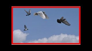 Leading the flock helps speedy pigeons learn to navigate