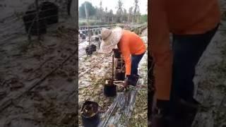 Teknik cabut pokok cili